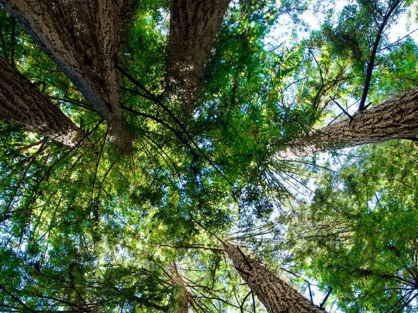 Looking up at the tops of trees in a forest.