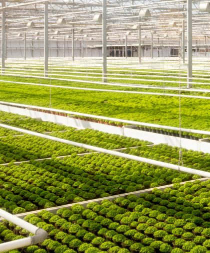 Greenhouse cultivation.